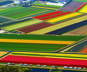 tulips, flowers, and netherlands image