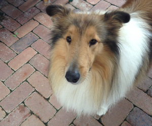 adorable, collie rough, and animal image
