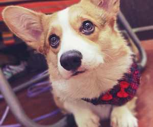 corgi, cute, and love image
