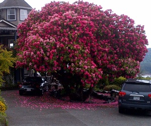 rhododendron tree image