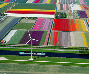 campo, field, and tulips image