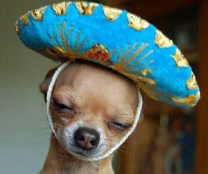 dog, cute, and chihuahua image