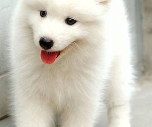 adorable, white, and puppy image