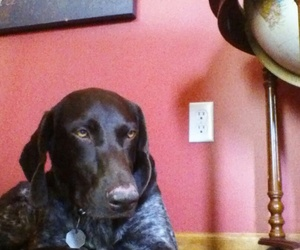 love my dog and german short hair pointer image