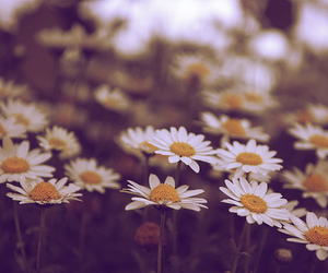daisies, vintage, and daisy image