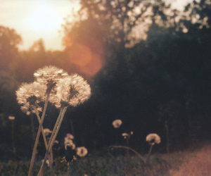 dandelion, flowers, and nature image