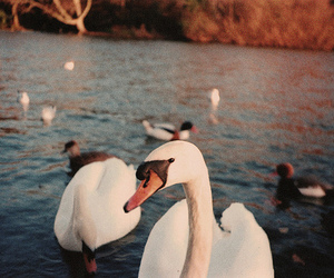 Swan, vintage, and animal image