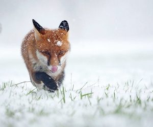 cold, fox, and snow image