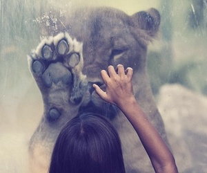 lion, photo, and lovely image
