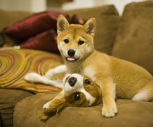 5d, puppy, and shiba image
