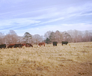 black, country, and cows image