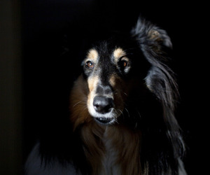 collie, dark, and dogs image