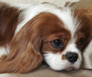 lovely, puppy, and cavalier king image