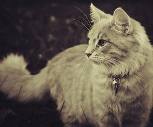 black and white, cat, and fluffy image