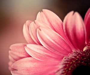 flower, pink, and vyer image
