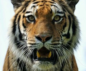 power, tiger, and wild image