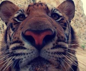 animals, tigers, and roaaar image