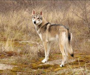 dog, half, and finland image