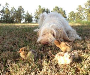chicks, griffon, and italian image