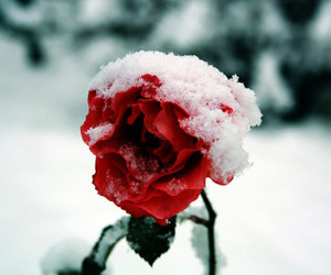 rose, snow, and red image