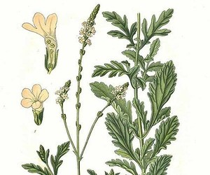 herb, vervain, and verbena image