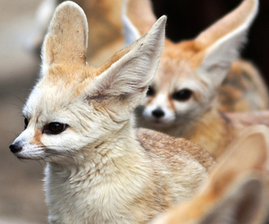 adorable, fennec fox, and animal image