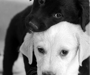 cute, black and white, and dog image