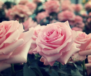 pink roses, pretty, and vintage image