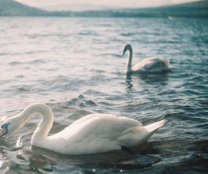 sea, Swan, and water image