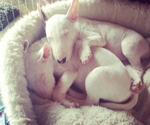 bull terrier, puppies, and cute image