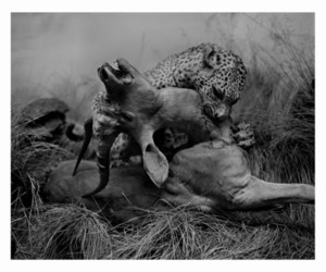 leopard, animal, and wild image