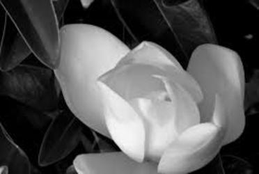 blackandwhite and flower image