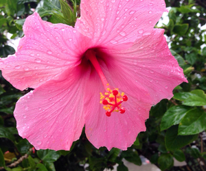 beautiful, flower, and hibiscus image