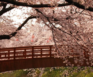beautiful, cherry, and photography image