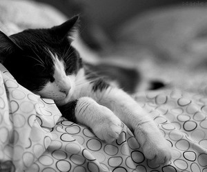 black and white, chat, and cat image
