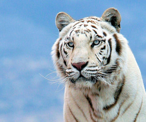 tiger and white image