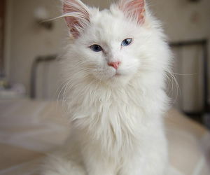beautiful, blue, and maine coon image