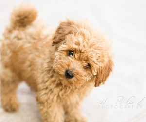 baby, poodle, and puppy image
