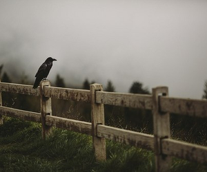 crow, nature, and fog image