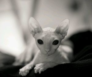 cat, sphynx, and black and white image