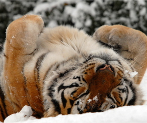 tiger, snow, and cute image