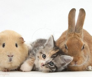 cats, cute animals, and guinea pigs image