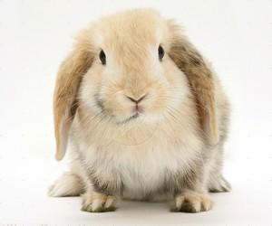 cute animals, mini lop, and rabbit image