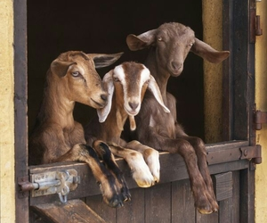 goat and goats image