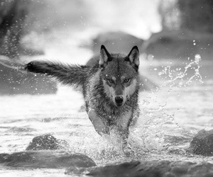 wolf, Howl, and wild image