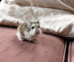 animals, hamster, and pets image