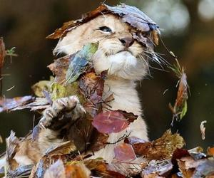 lion, animal, and autumn image