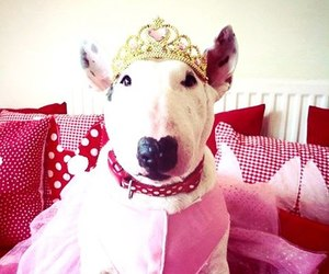 bull terrier, dog, and pink image