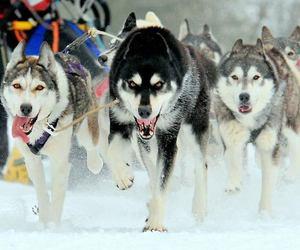 wolf, animals, and dog image