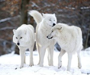 wolf, love, and snow-wolves image